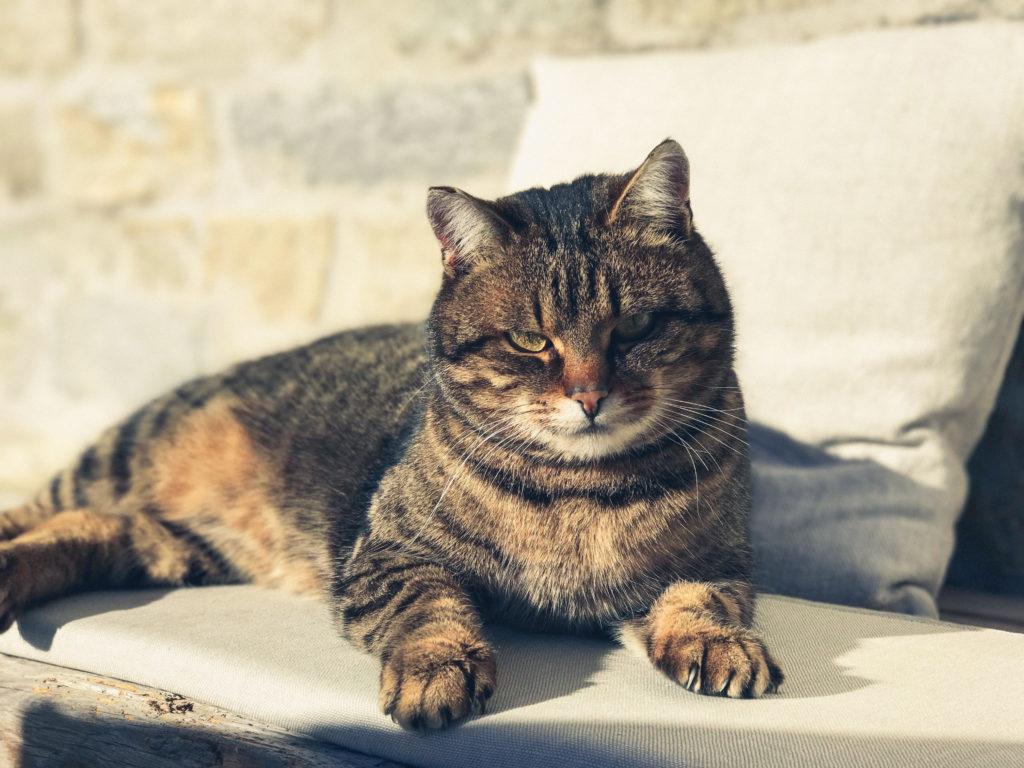 Der Haustiger entspannt in der winterlichen Sonne